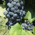 Indigenous Wine Grapes of Turkey