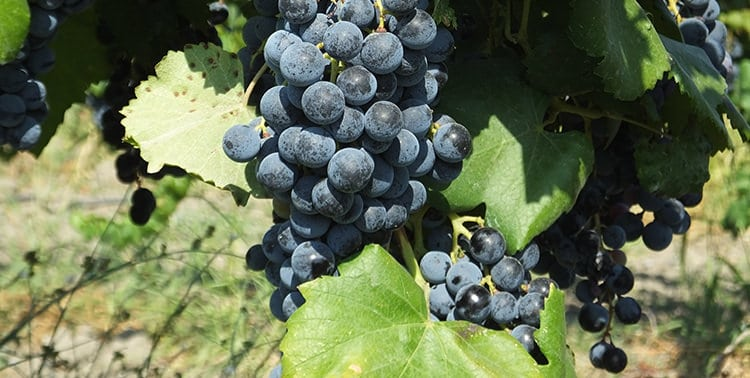 Picture of Boğazkere grapes.