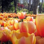 Picture of tulips in Emirgan Park during the International Istanbul Tulip Festival, Turkey.