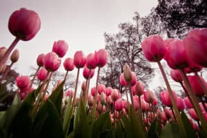 Picture of red tulips in Istanbul's Emirgan Park.
