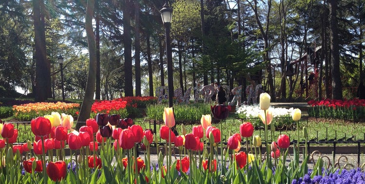 Tulips at Emirgan Park in Istanbul.